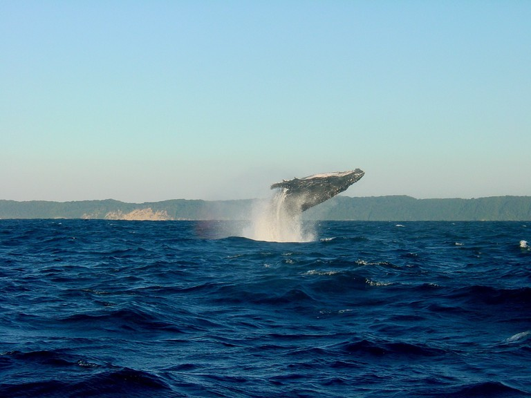 Leaping whale in Iceland