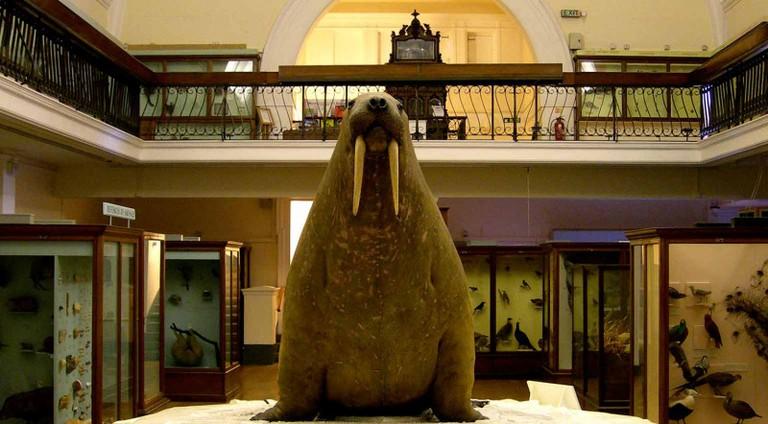 The Horniman's Famous Walrus