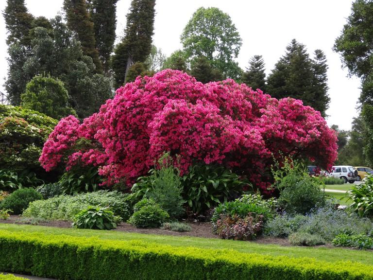 Azalea tree in Rotorua