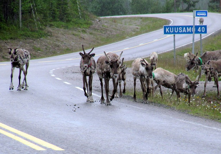 Reindeer on a road in Lapland