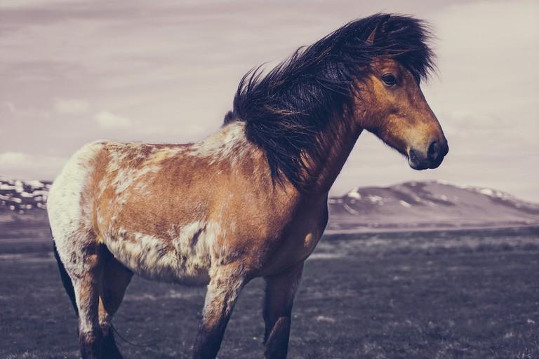 Icelandic Horse | Mitchel Jones/Flickr