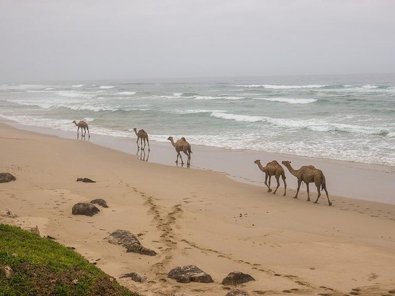 Camels By: Juozas Salna