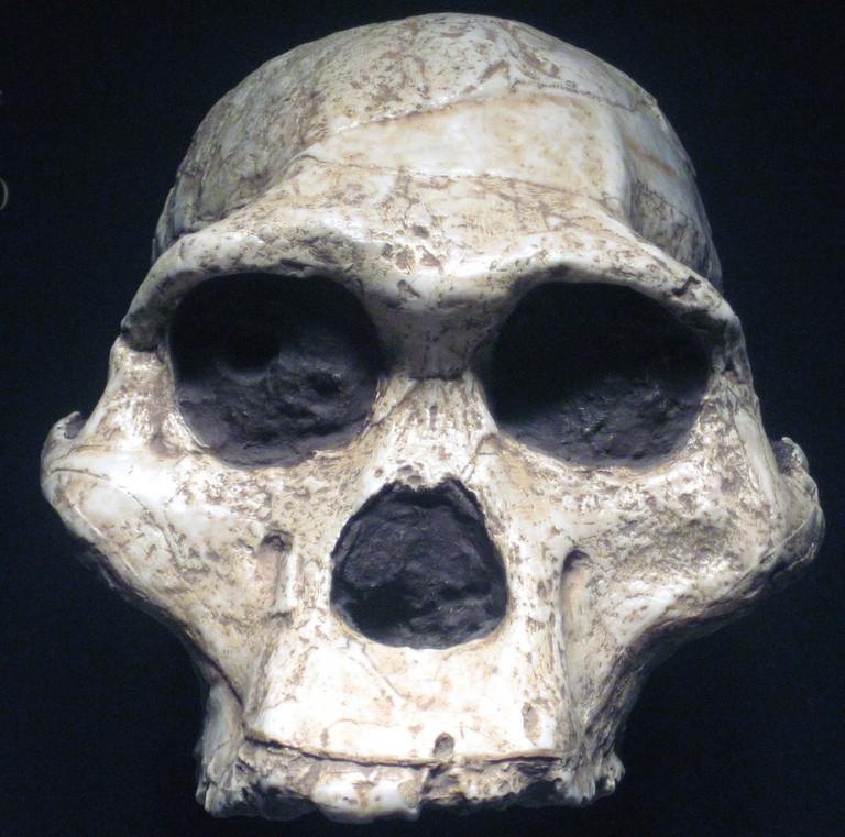 Australopithecus africanus fossil hominid