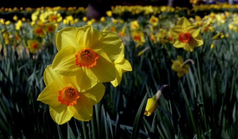 Daffodils, Christchurch Botanic Gardens