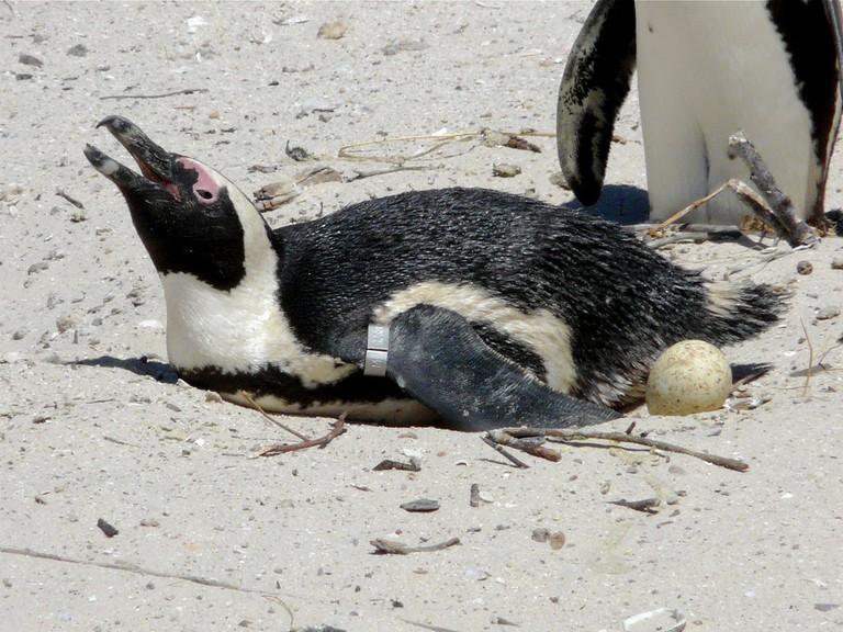 Penguin on nest