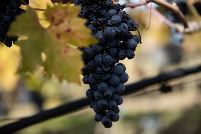 Shriveled wine grapes on the vine | © WineCountry Media / Flickr