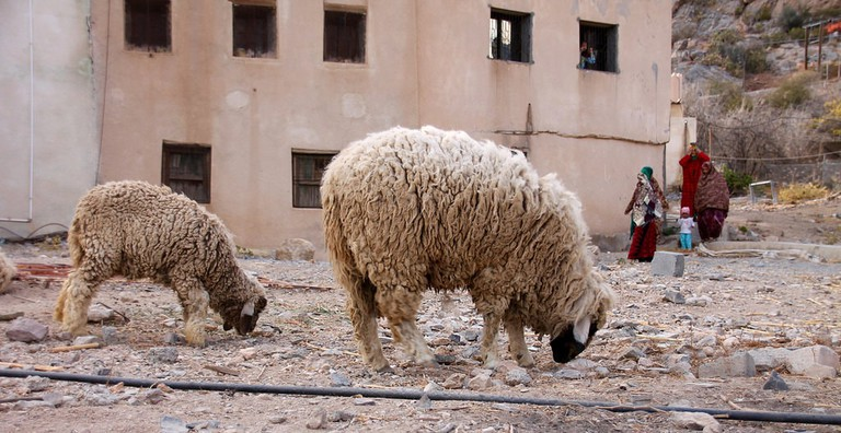 Sheep in Oman