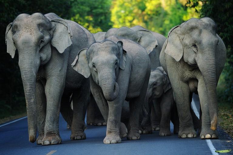 Elephants taking a stroll at Khao Yai national park