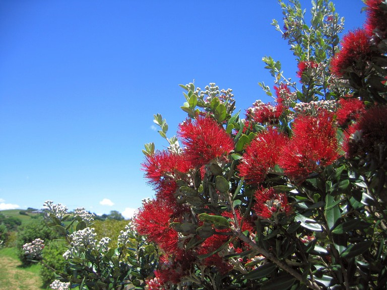 Pohutukawa, a New Zealand Christmas tree