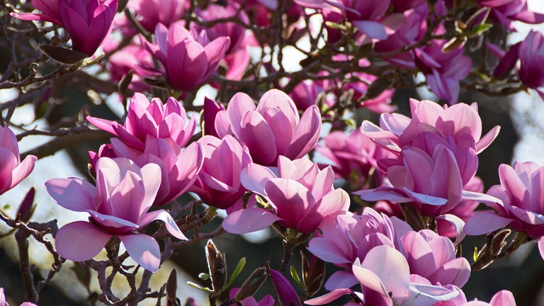 Sea of pink magnolia flowers, Dunedin botanic garden, Otago, New Zealand