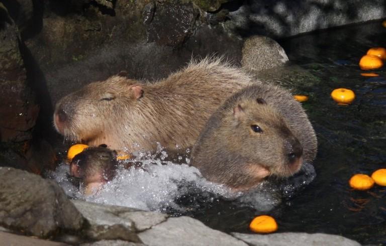 Capybaras snack on oranges in the pool