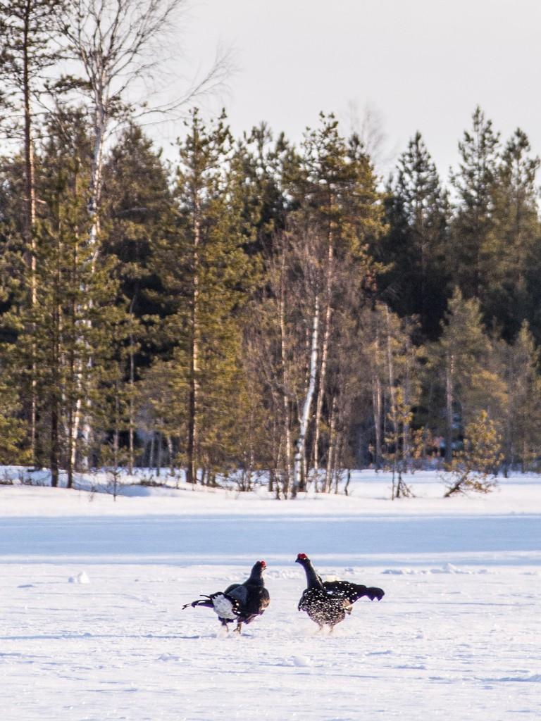 Black grouse on a lake / Juho Holmi / Flickr
