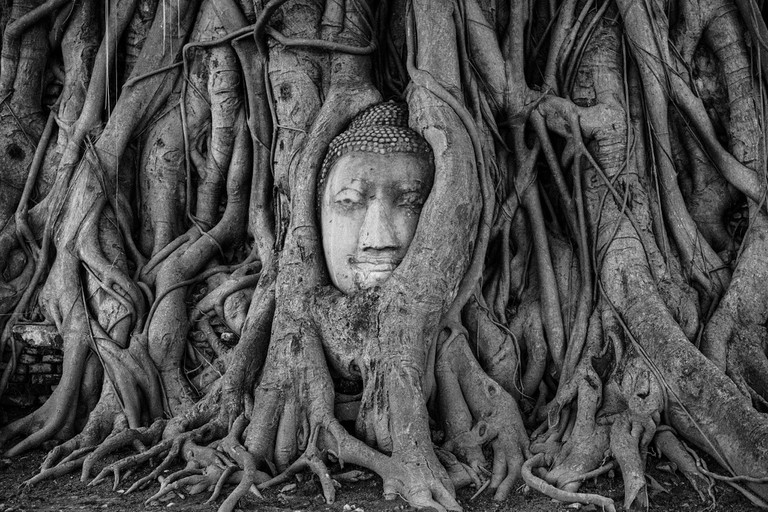 Buddha's head in the fig tree roots