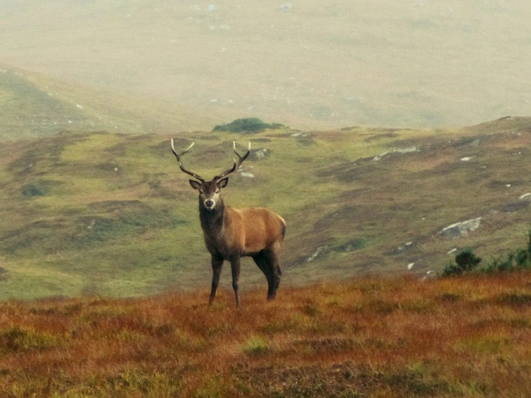 Stag in Misty Sutherland