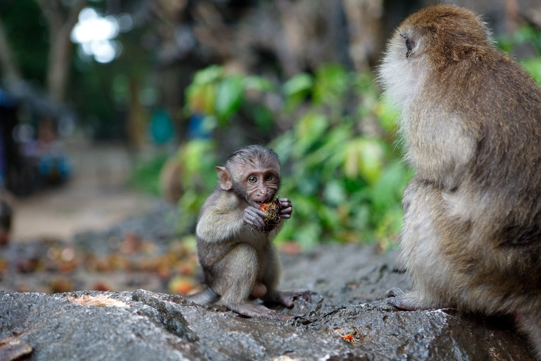 Macaque baby at Monkey Cave Temple