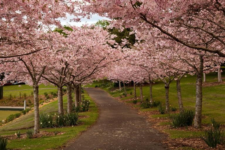 Cherry Grove in Auckland Domain