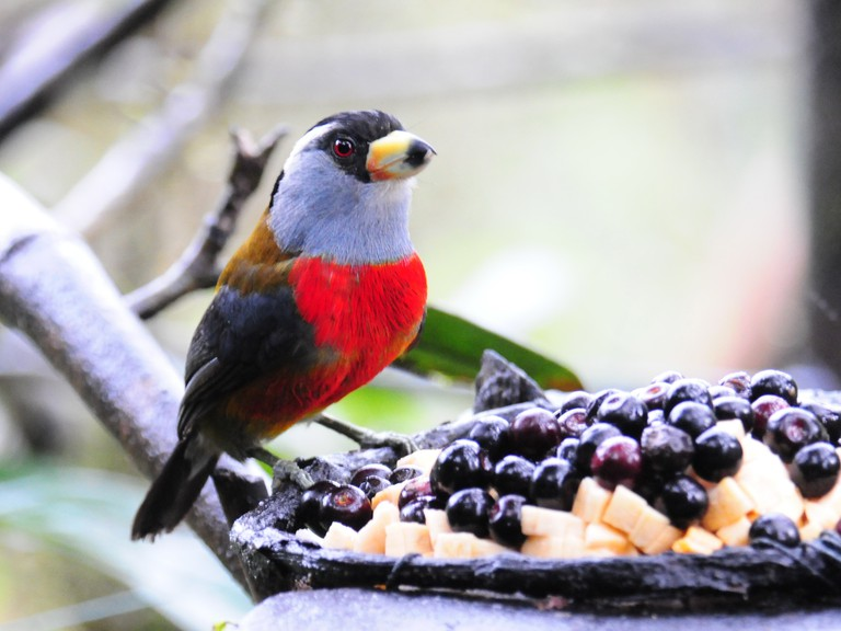 The stunning Toucan Barbet is a common sight in Alto Anchicaya