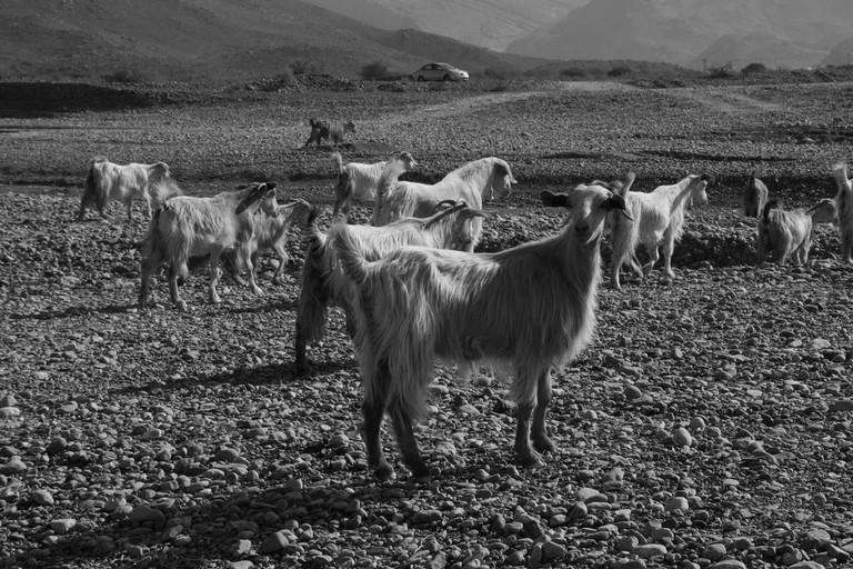 Goats in the morning By: Marco Zanferrari