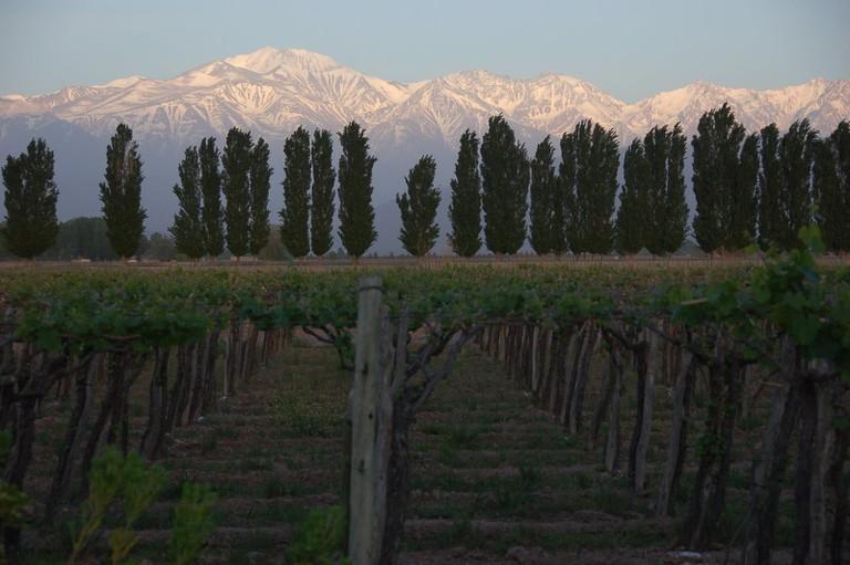 A Mendoza vineyard at the foot of the Andes
