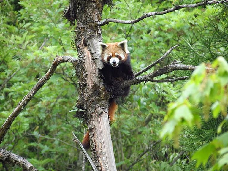 Rare Red Panda