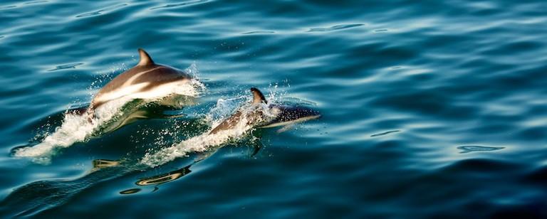 Kaikoura: dusky dolphins