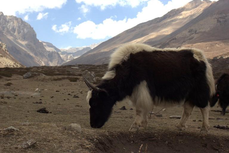 A grazing yak