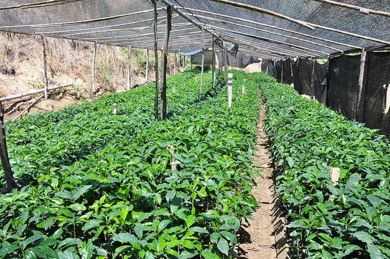 Green house of young coffee trees, Oro Province, Ecuador