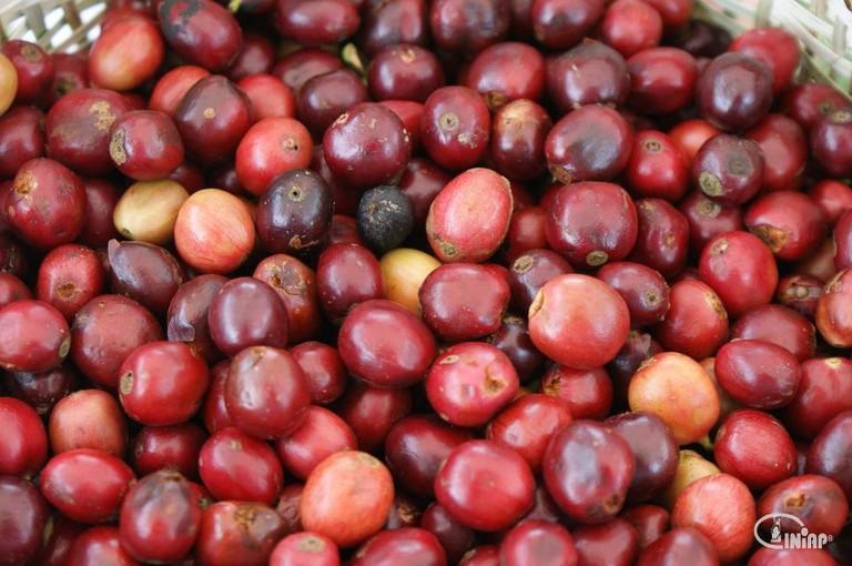 Coffee Cherries, Ecuador