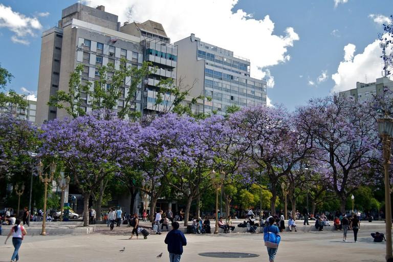 The beautiful jacaranda trees of Buenos Aires