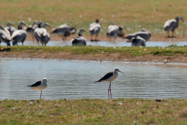 Birdwatching in Majuli beels