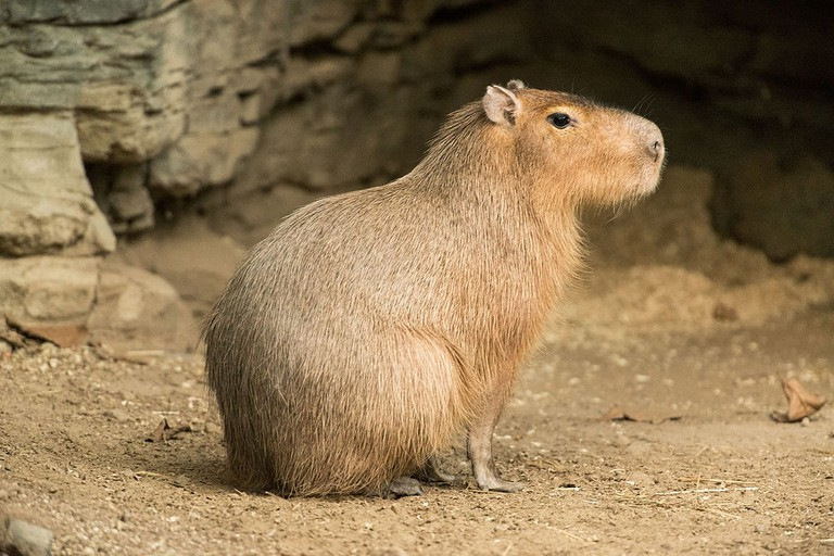Capybara in profile