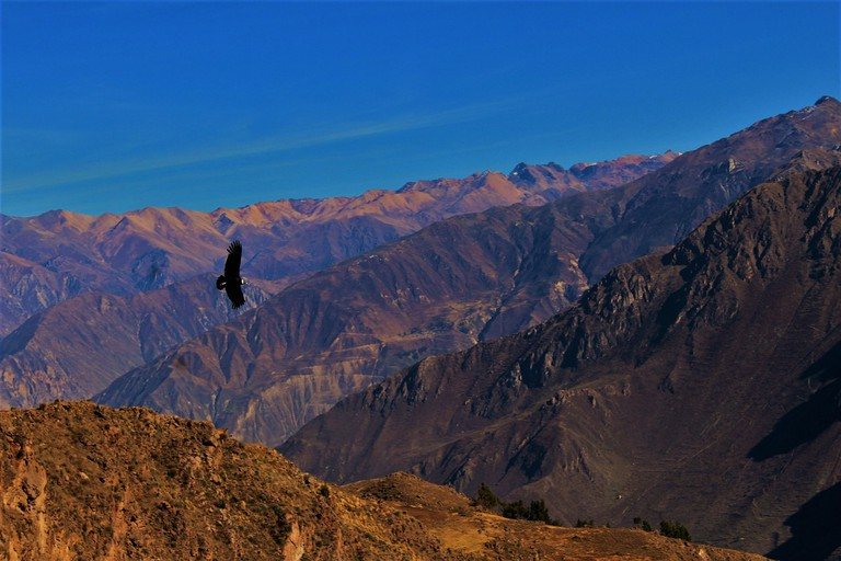 An Andean Condor soars over the Colca Canyon