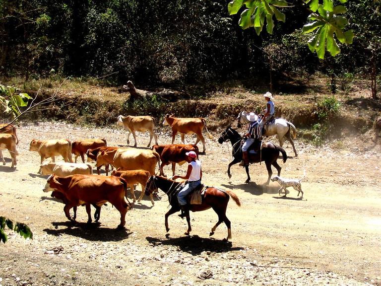 Costa Rican cowboys