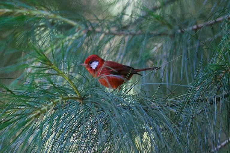 Red Warbler in Desierto de los Leones