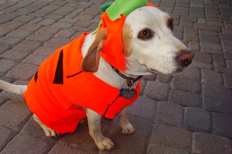 dog in a pumpkin Halloween costume / (c) Pixabay