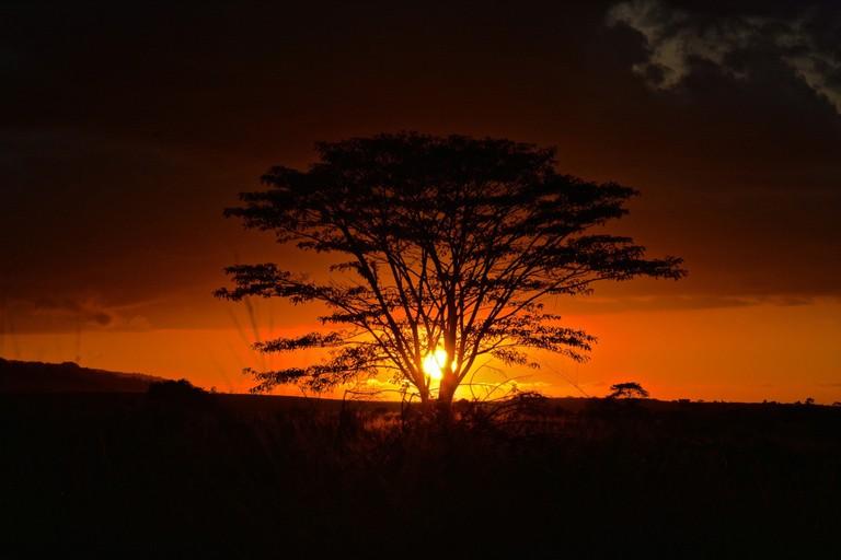 Monkeypod tree at sunset