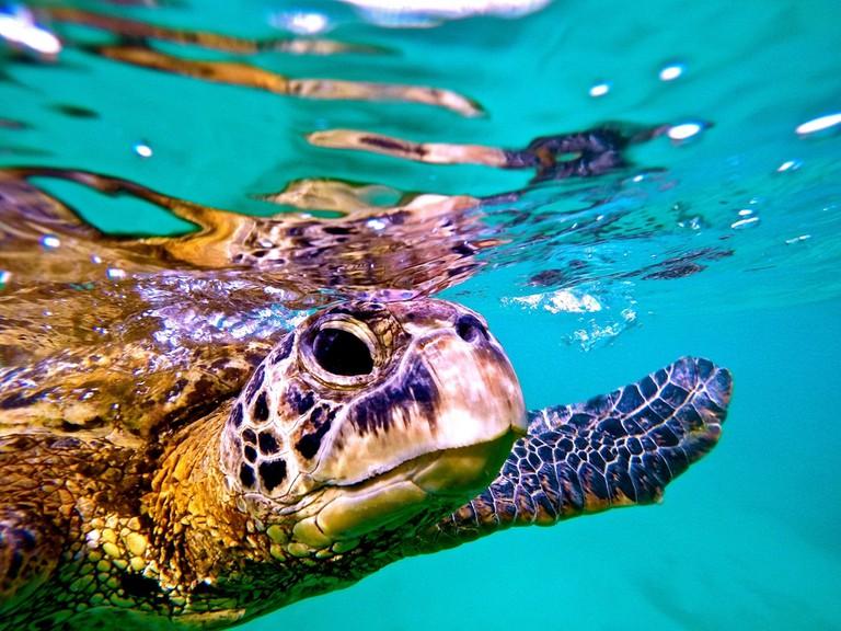 Honu or Hawaiian green sea turtle: ʻaumākua