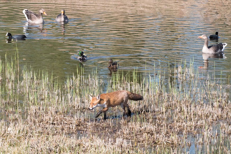 Fox and water fowl at RSPB Fowlmere in Hertfordshire, England