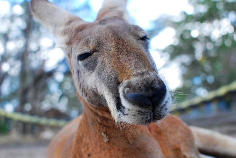 Kangaroo   © Free-Photos_Pixabay