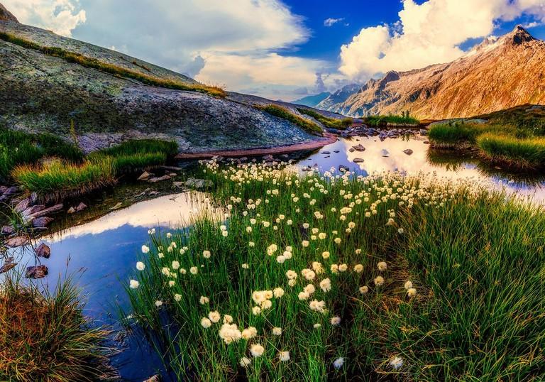 New Zealand Dandelions