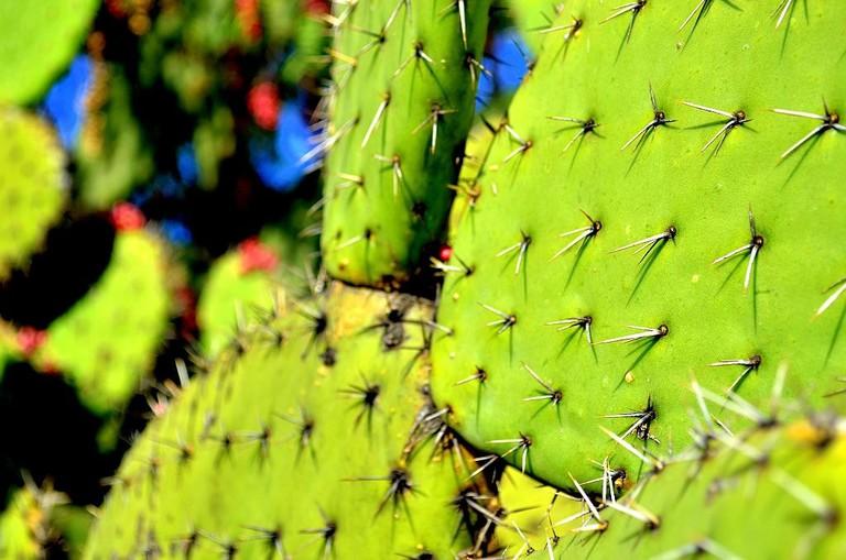 Nopal cactus / flickr