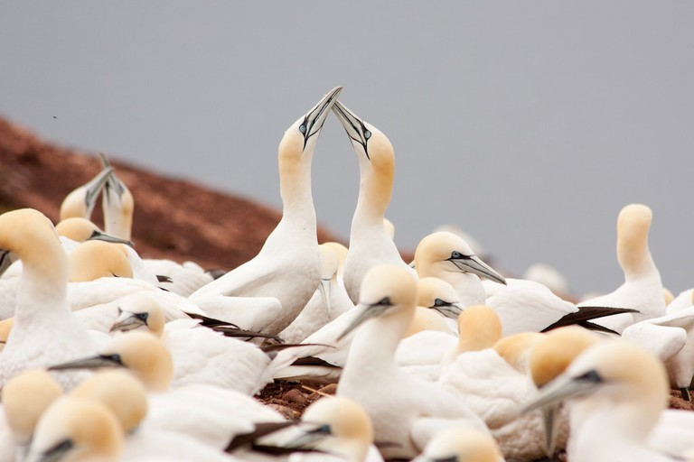 Northern Gannets, Quebec