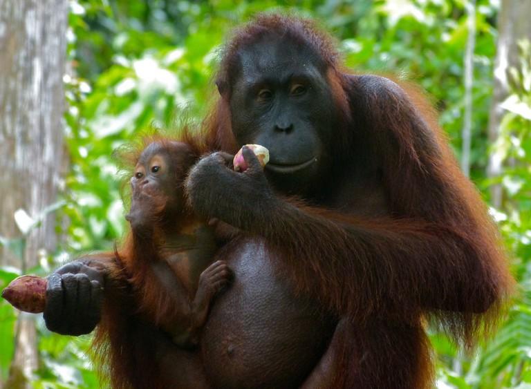 Orangutans are taken care by Sepilok Orangutan Rehabilitation Centre