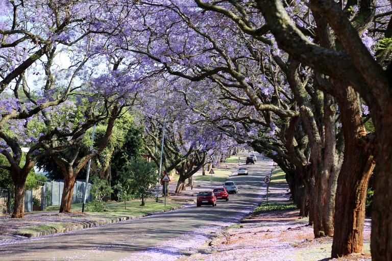 Jacarandas line the streets of Pretoria