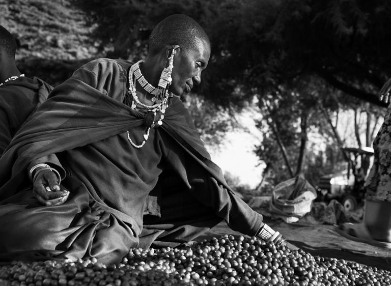 Selecting coffee cherries. Shangri La coffee estate, Rift Valley, slopes of Ngorongoro crater, Tanzania (2014)