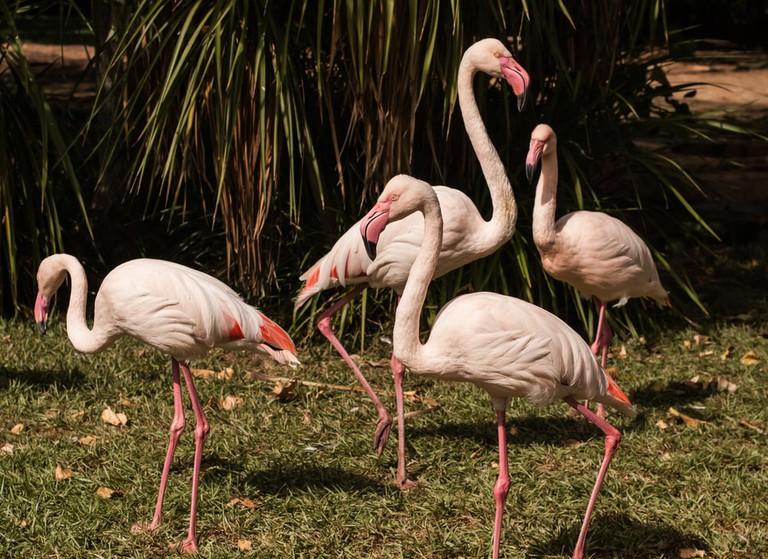 Pink Flamingos at Lagos Zoo   © Elenapavlova/Shutterstock