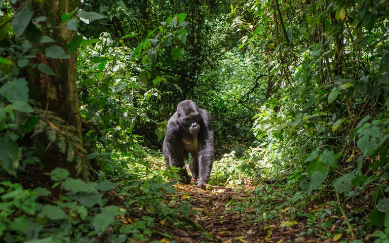Mountain Gorilla wandering the jungle | © GUDKOV ANDREY/Shutterstock