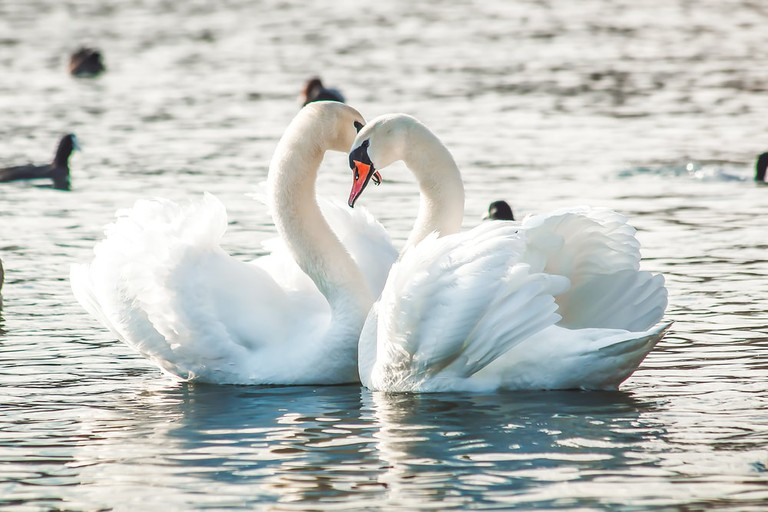 Swans of the River Thames