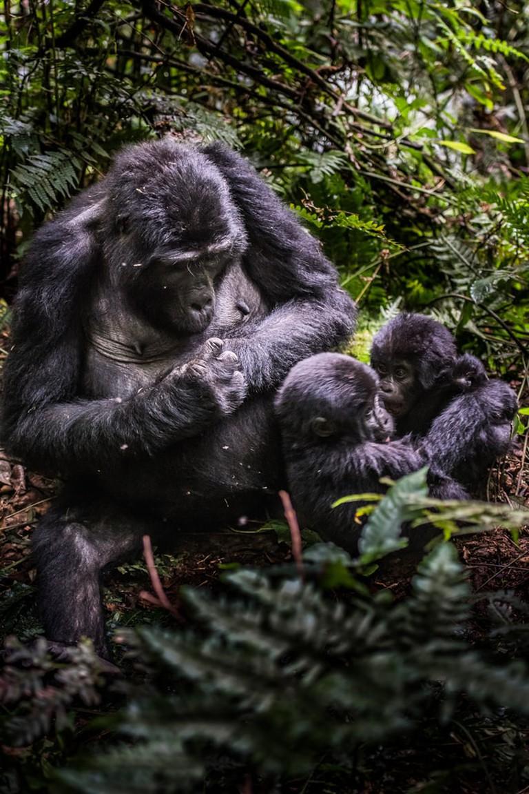Mountain gorilla family | © Vaclav Sebek/Shutterstock