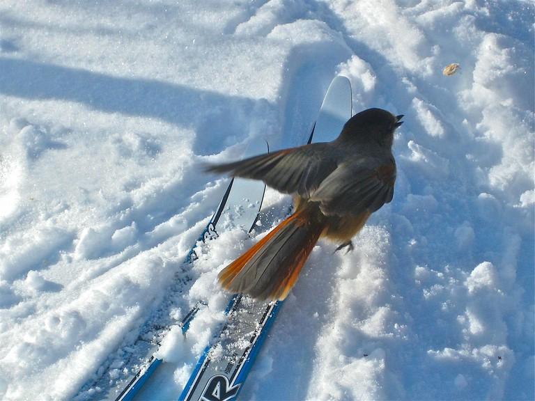 Swedish birds ski